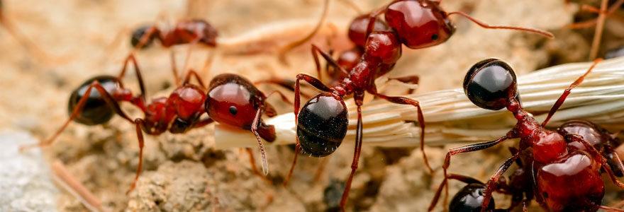 Invasion de fourmis à Paris